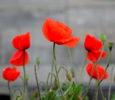 Poppies against grey...