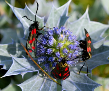 Six-spot burnet - three!