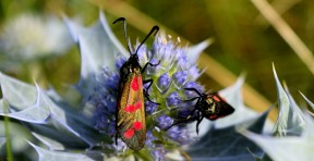 Six-spot burnet - bronze...