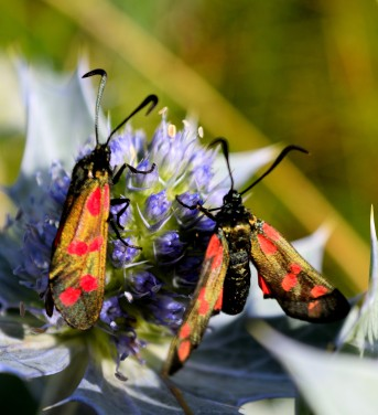 Six-spot burnet - blurry take off