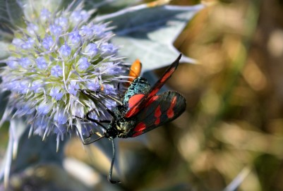 Six-spot burnet - sea holly special