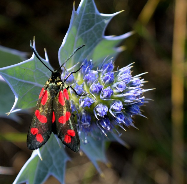 Six-spot burnet - beauty...