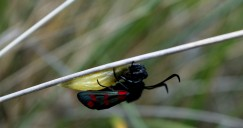 Six-spot burnet -emerged