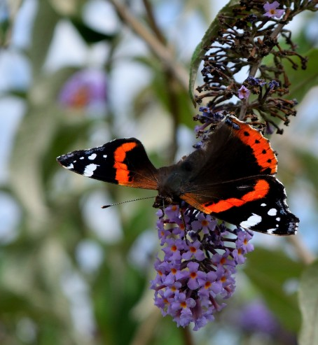 A tattered red admiral - living it up, were you??