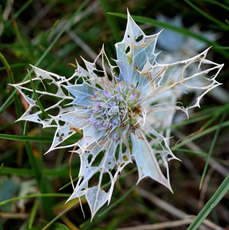 Sea Holly - in all it's spiky detail!