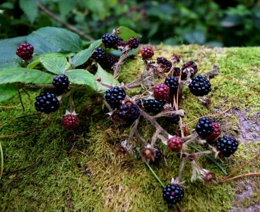 Blackberry hunt 11 - you-yum!!
