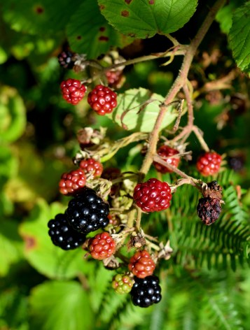 Blackberry hunt 6 - taste that!!